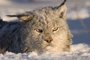 Canadian lynx in deep snow (Lynx canadensis) Northwoods of Minnesotacontrolled conditions