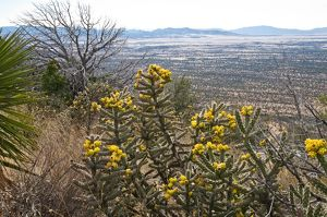 Cane Cholla, Cylindropuntia spinosior, with fruit, Montazuma Pass Overlook