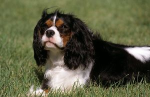 Cavalier King Charles Spaniel lying in Grass