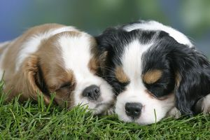 Cavalier King Charles Spaniel puppies, asleep, 8 weeks, tricolour and Blenheim