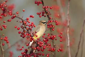 Cedar Waxwing (Bombycilla cedrorum) amid crab-apples in autumn, Ithaca