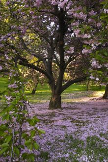 Cherry Trees, Central Park, NY