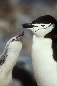 penguins/chinstrap penguin pygoscelis antarctica feeding