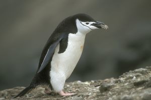 penguins/chinstrap penguin pygoscelis antarctica carrying