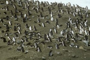 Chinstrap Penguins (Pygoscelis antarctica), Saunders I., South Sandwich Islands