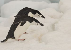 Chinstrap penguins in snow at Ronge Island Ronge Island Antarctic Peninsula