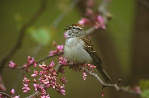 Chipping Sparrow amid redbud blossoms - Freeville, NY (Spizella passerina)