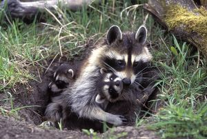 Common Raccoon (Procyon lotor), adult female with young at den Animals of Montana