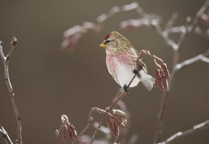 Common Redpoll (Carduelis flammea), perched in alder in winter, New York, USA