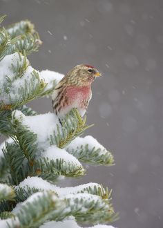 Common Redpoll (Carduelis flammea), perched in snow-covered conifer during snowstorm
