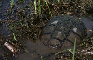 Common Snapping Turtle (Chelydra serpentina) in Farm Pond/ May/ PA