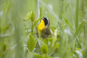 Common Yellowthroat (Geothlypis trichas) male singing in spring, Montezuma NWR, NY