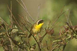 Common Yellowthroat male (Geothlypis trichas) singing in spring - Ithaca, New York