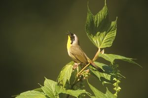 Common Yellowthroat Warbler (Geothlypis trichas) male singing, Spring, Dryden, New York