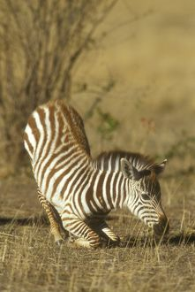 Common Zebra foal getting up (Equus burchelli), Masai Mara, Kenya