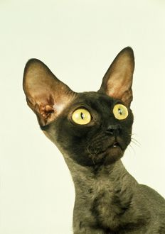 Cornish Rex Cat, headshot