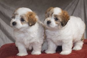 The Coton de Tuléar is a small Breed of Dog