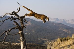 Cougar or Puma (Puma concolor) Captive situation,leaping from a dead tree, MT, USA