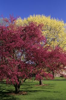 Crabapple in Spring, Dayton, Ohio