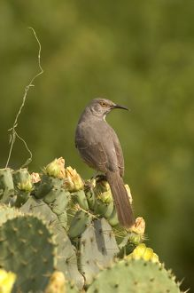 Curve-billed Thrasher (Toxostoma curvirostre) Edinberg,Tx