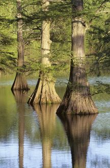 Cypress Trees at Horseshoe Lake Conservation Area, Alexander Co., Illinois