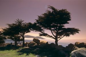 Cypress Trees, Monterey Peninsula, California