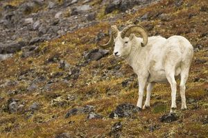 Dall sheep (Ovis dalli) in Denali National Park, Alaska, on talus slope above treeline
