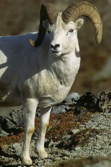Dall Sheep Ram (Ovis dalli)Denali National Park, Alaska