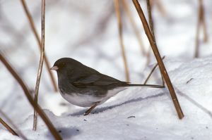 Dark-Eyed Junco (Junco hyemalis) Pennsylvania