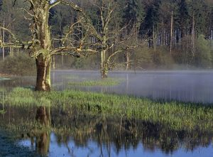 Dead trees in a pond, fog, early morning, spring time, sunrise, Bavaria, Germany, Europe