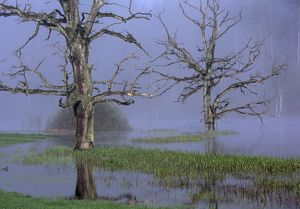 Dead Trees in a Pond, Fog, early Morning, Springtime, Sunrise, Bavaria, Germany, Europe