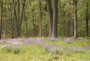 Deciduous Forest Edge with Lupines, Oak Openings Preserve, Toledo, OHio