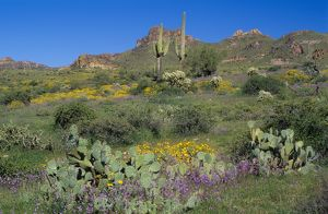 Desert Spring Blossoms with Saguaro Cacti & Superstition Mts., Apache Jct., AZ Arizona