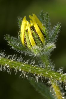 Dew covered Black-eyed Susan (Rudbeckia serotina), PA