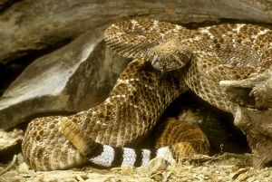 Diamondback Rattlesnake (Crotalus atrox) About to strike, defensive posture. West USA