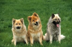Dog, Eurasiers, different colors
