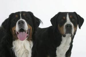 Two dogs: Bernese Mountain Dog and Greater Swiss Mountain Dog. two different breeds