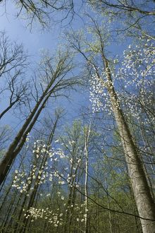 Dogwood & Forest looking up (Cornus florida) Greenbrier - Smoky Mt. NP TN