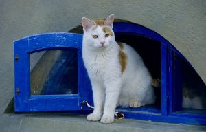 Domestic Cat sitting in front of blue Window