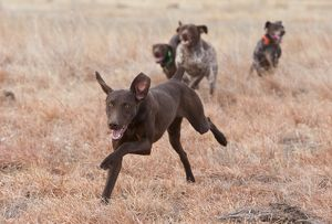 Domestic Dog, German Shorthair Pointer, young Pup running ahead of the Pack, Eastern