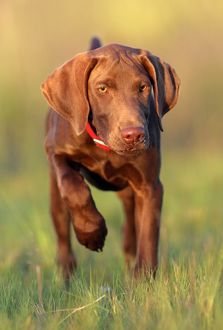 Domestic Dog, German Shorthair Pointer Puppy on Point, Eastern Colorado