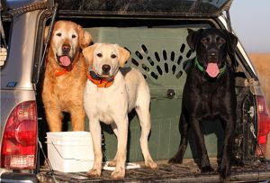 Domestic Dogs, Yellow and Black Labrador with Golden Retriever Eastern Colorado