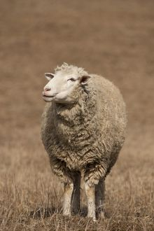 Domestic Sheep (Ovis aries) Ewe in field, Central Pennsylvania, USA