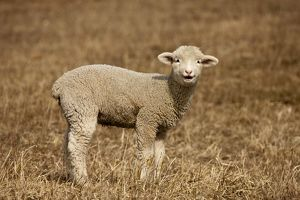 Domestic Sheep (Ovis aries) Lamb in field, Central Pennsylvania, USA