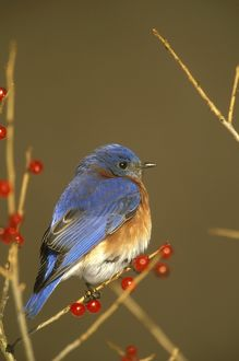 Eastern Bluebird Male with Berries in Winter (Sialia sialis), Freeville, NY,
