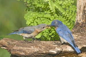 Eastern Bluebird male feeding female, Pair Bonding (Sialia sialis) Asheville, NC