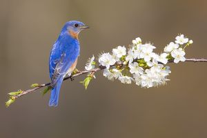 Eastern Bluebird (Sialia sialis), male perched amid cherry blossom in spring