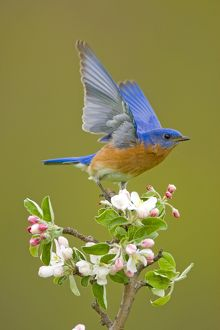 Eastern Bluebird (Sialia sialis), male performing wing-wave display, perched on apple