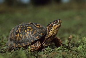 Eastern Box Turtle (Terrapene c. carolina), PA