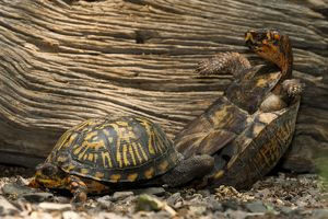 Eastern Box Turtle (Terrapene carolina carolina) Male and female mating, Central PA, USA